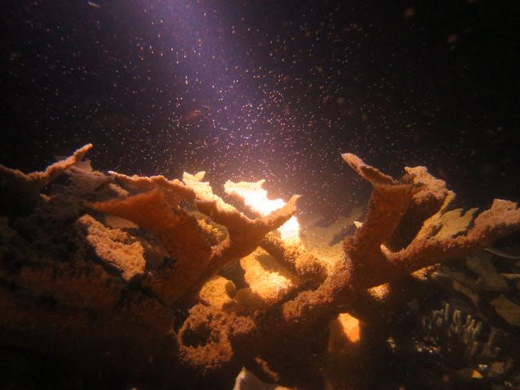 Une lumière brille sur un corail tropical la nuit, illuminant les spermatozoïdes et les ovules dans l'eau.
